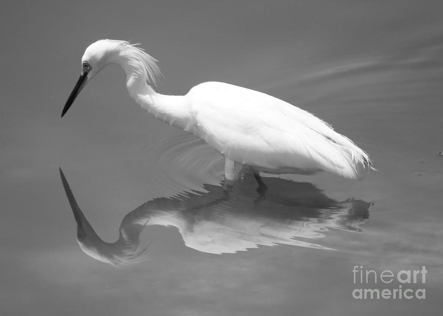 Snowy Egret Photograph - Concentration by Carol Groenen