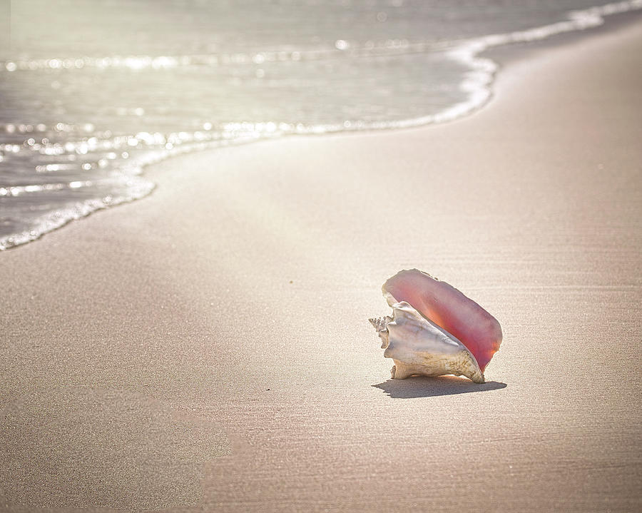 Conch Shell On Pink Sand Beach, Harbour Photograph by Image By Sherry Galey