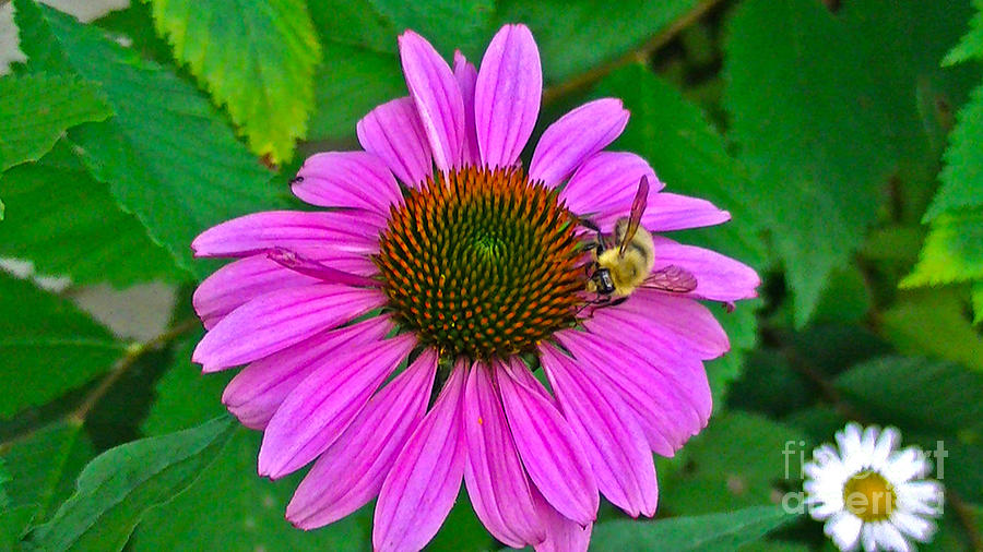 Cone Flower Photograph - Cone Flower An Bumble  by Brittany Perez