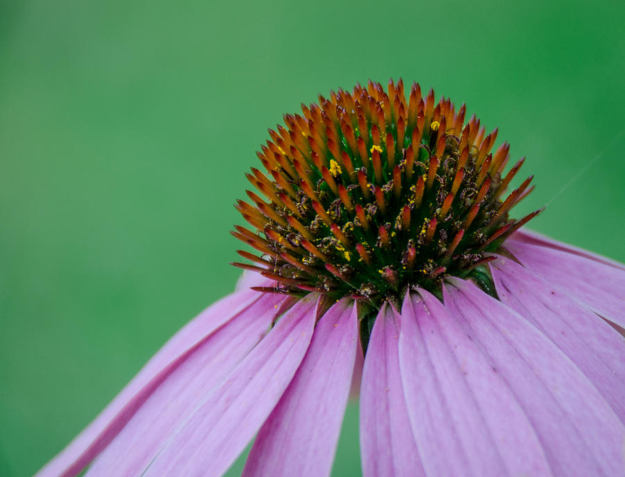 Cone Flower by Jennifer Kano