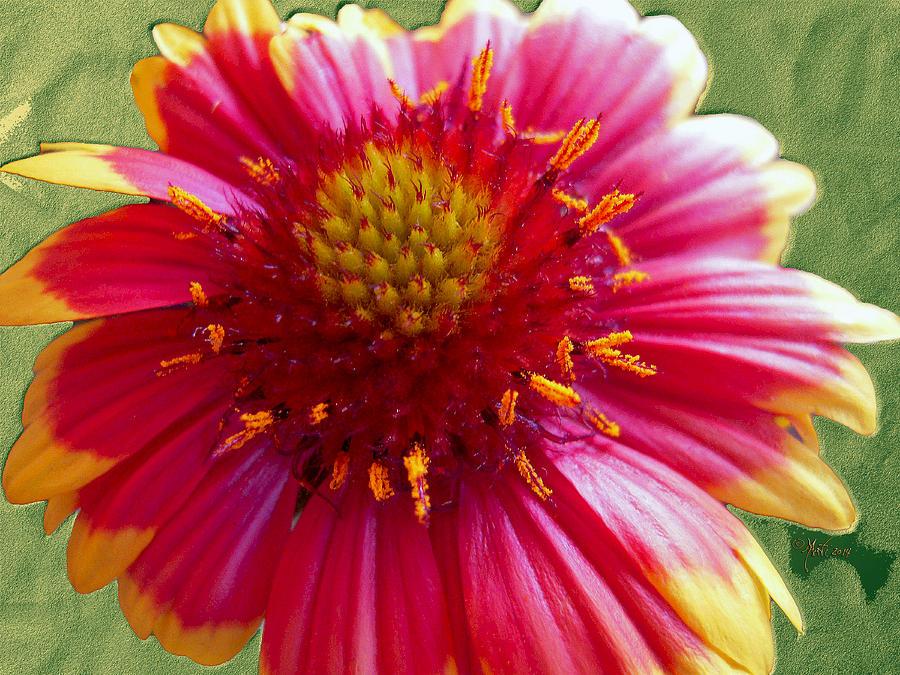Coneflower Echinacea Photograph