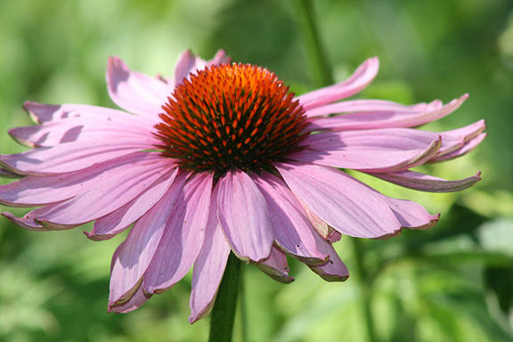 Cone Flower Photograph - Coneflower In Bloom by Sharon McLain