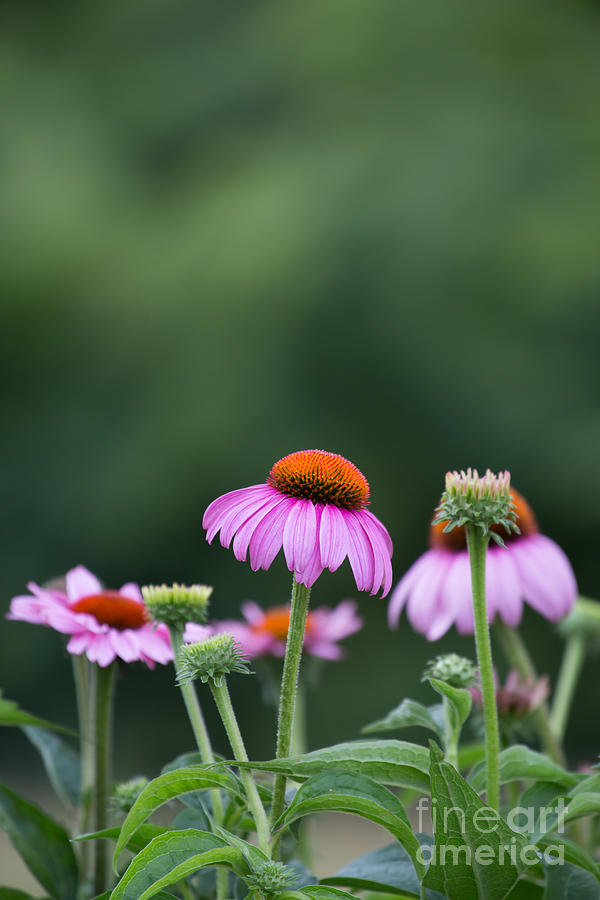 Coneflower Photograph - Coneflower by Kay Pickens