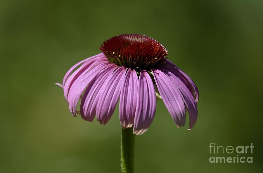 Medicinal Plants Photograph - Coneflower by Randy Bodkins