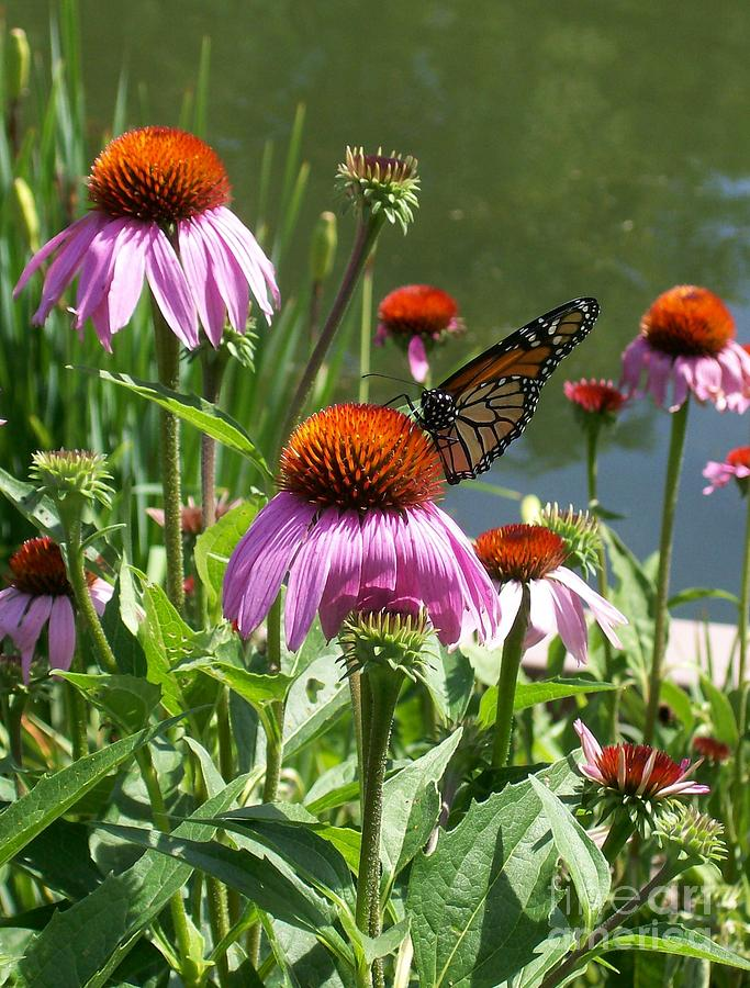 Coneflower Photograph - Coneflower With Butterfly by Laurie Eve Loftin