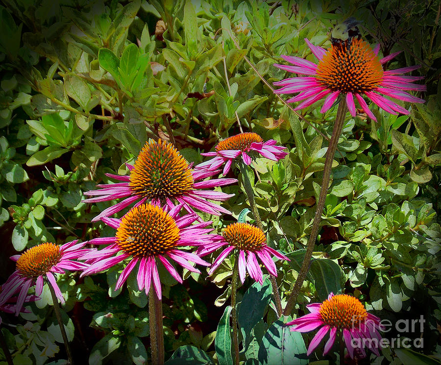Coneflowers Photograph - Coneflowers by Annette Allman