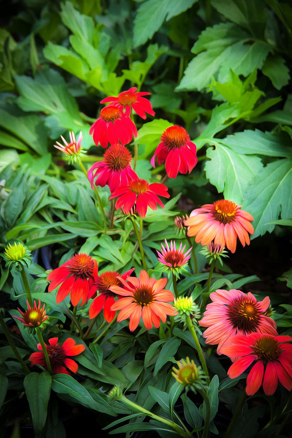 Echinacea Photograph - Coneflowers Echinacea Rudbeckia by Rich Franco