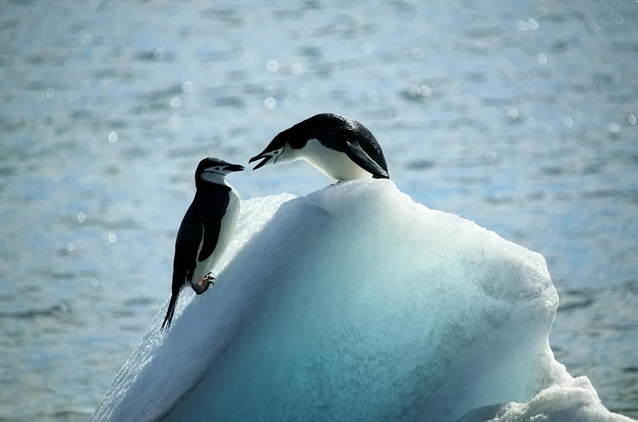 Conflict Between Two Chinstrap Penguins Photograph by Rosemary Calvert