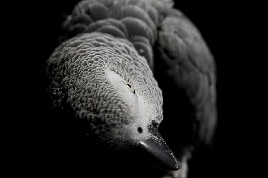 Parrot Photograph - Congo African Grey 1 by Paulina Szajek
