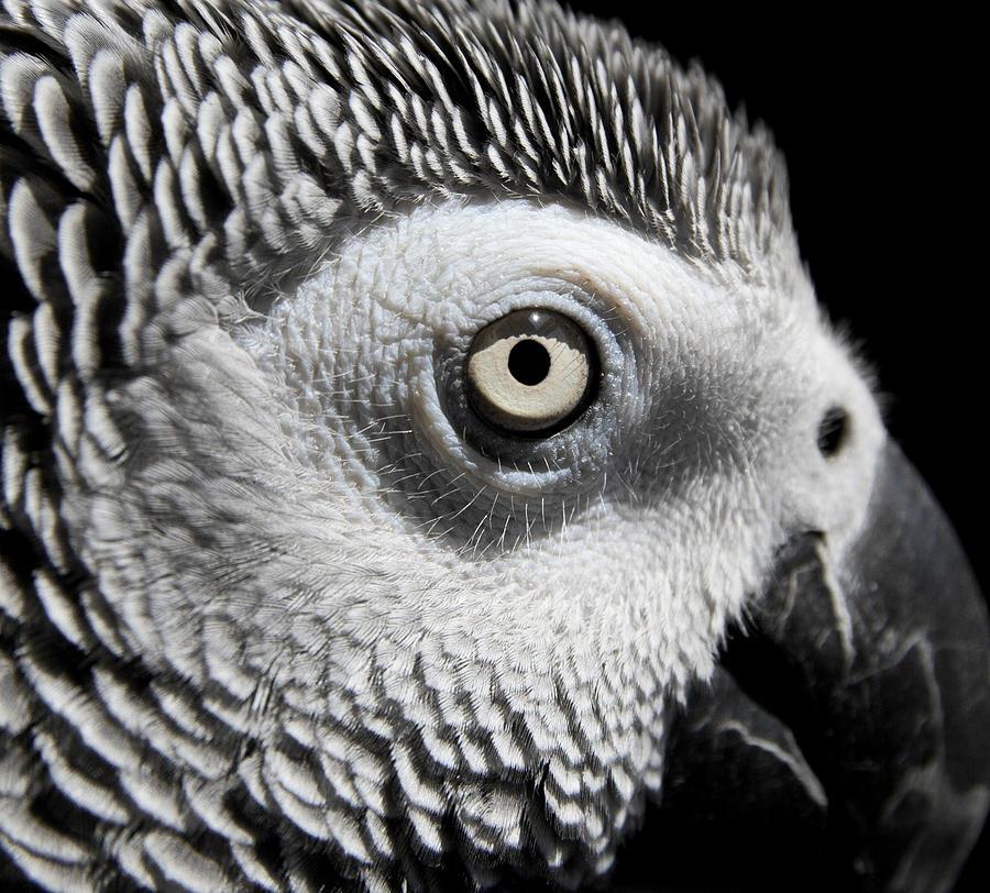 Parrot Photograph - Congo African Grey 2 by Paulina Szajek