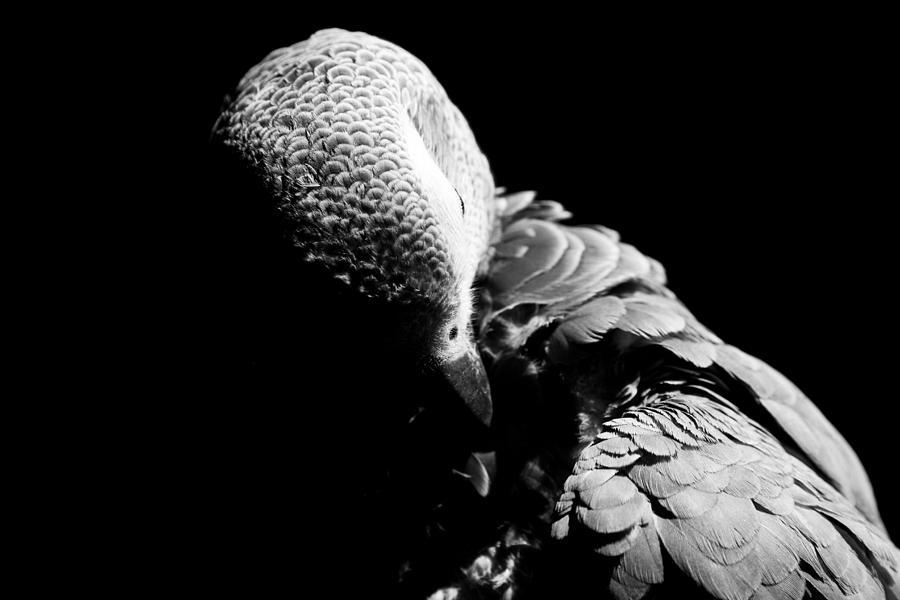 Parrot Photograph - Congo  African Grey 5 by Paulina Szajek