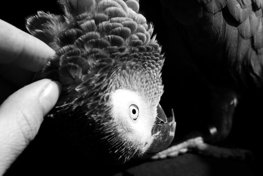 Parrot Photograph - Congo African Grey 7 by Paulina Szajek