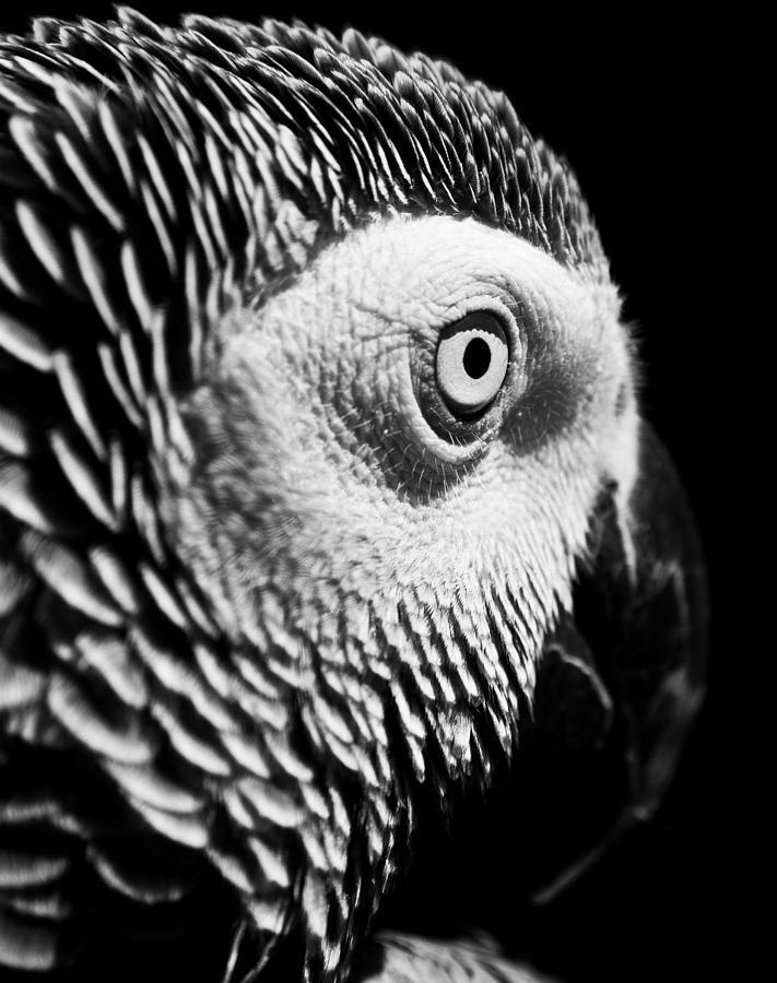 Parrot Photograph - Congo African Grey 8 by Paulina Szajek