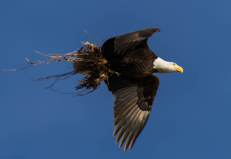 American Bald Eagles Photograph - Conowingo Rebuild  by Glenn Lawrence
