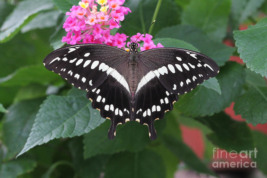 Butterfly Photograph - Constantines Swallowtail by Judy Whitton
