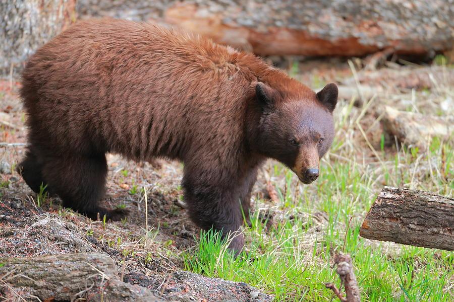 Black Bear Photograph - Contemplating by David  Treick