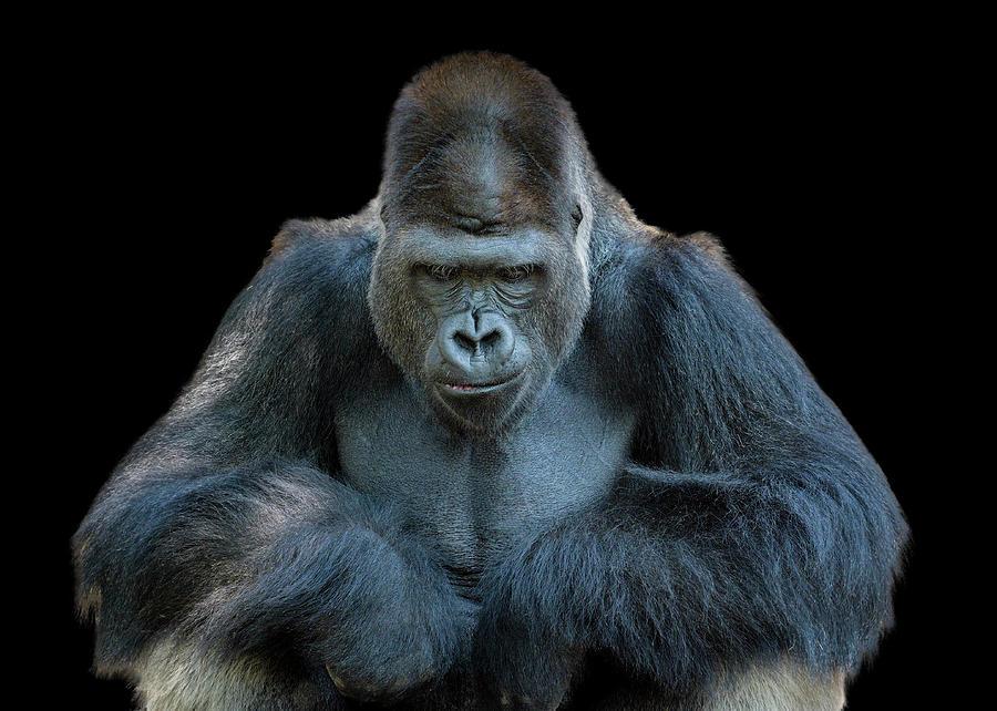 Contemplative Gorilla Photograph by Dean Fikar