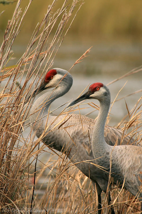 Sandhill Cranes Photograph - Content Pair by Crystal Heitzman Renskers