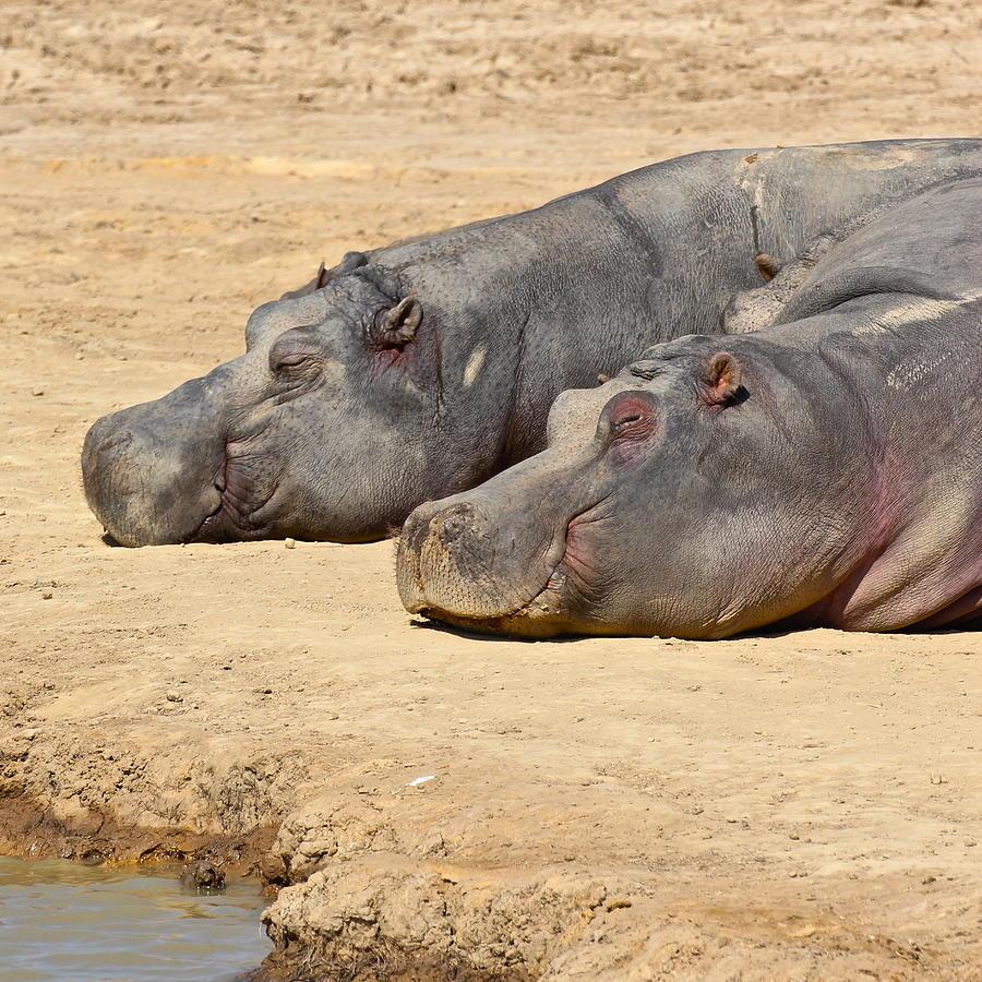 Hippo Photograph - Contented Hippos by Ed Pettitt