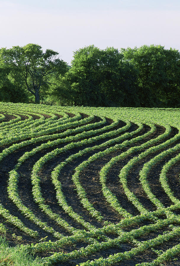 Contour Planted Field Of Young Soybeans (glycine Max). Photograph by Inga Spence