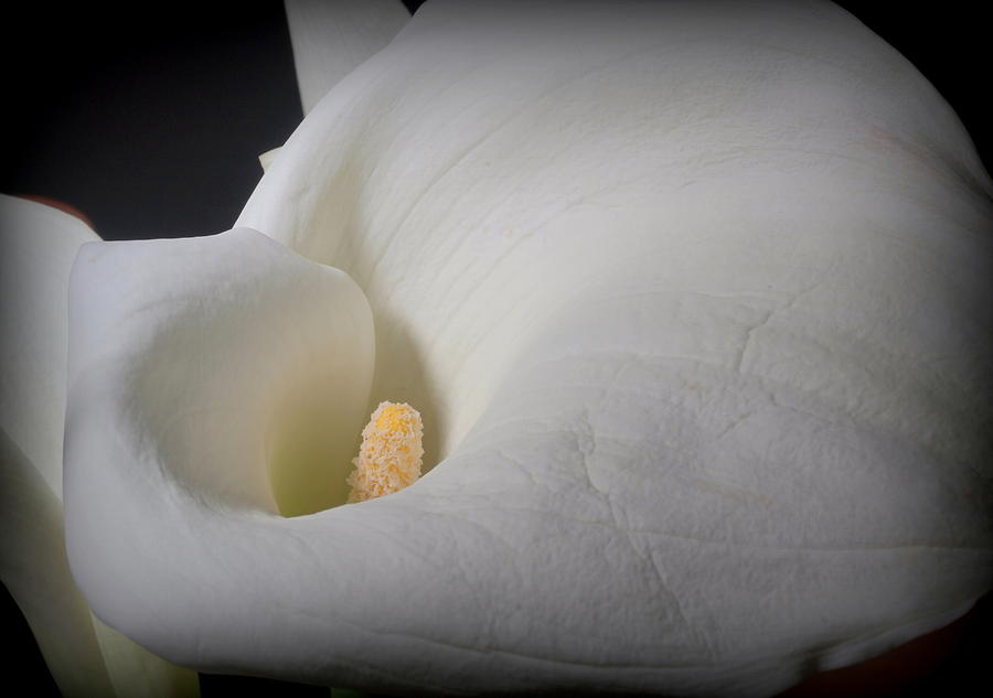 Contours Of A Lily Photograph