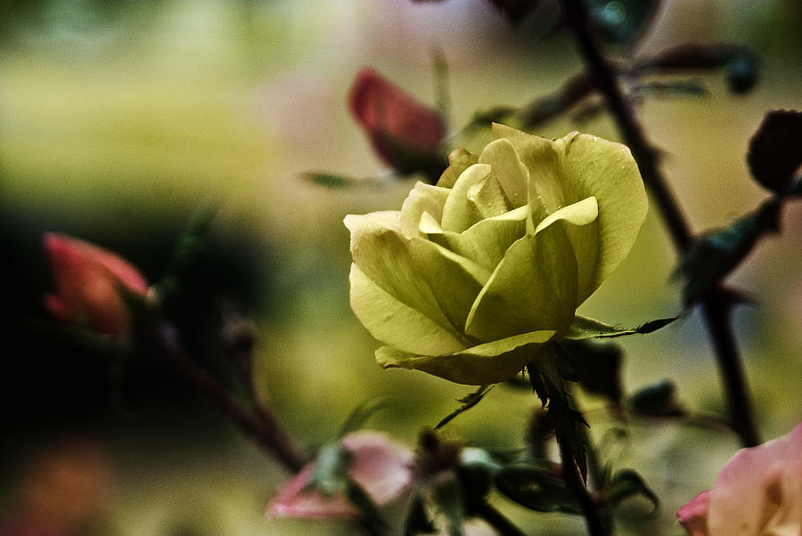 Aroma Photograph - Contrasting Beauty by Kelly Rader