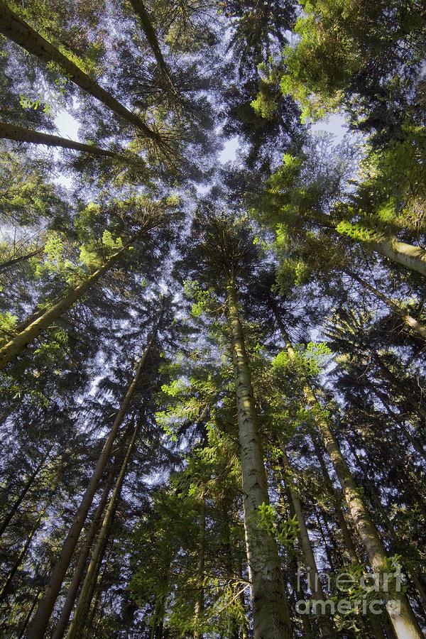 Fir Trees Photograph - Convergence by Maurizio Bacciarini