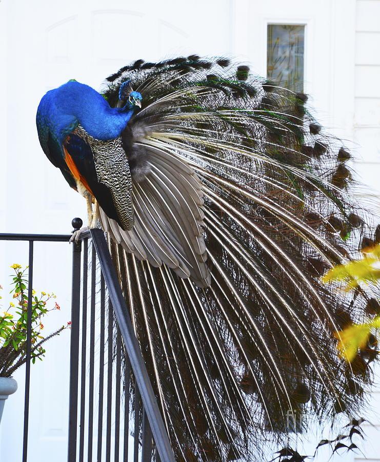 Convoluted Peacock by Joan McArthur