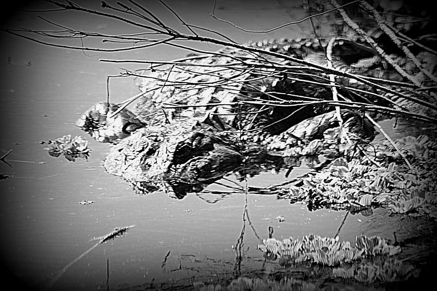Alligator Photograph - Cooling Off  B W by Sheri McLeroy