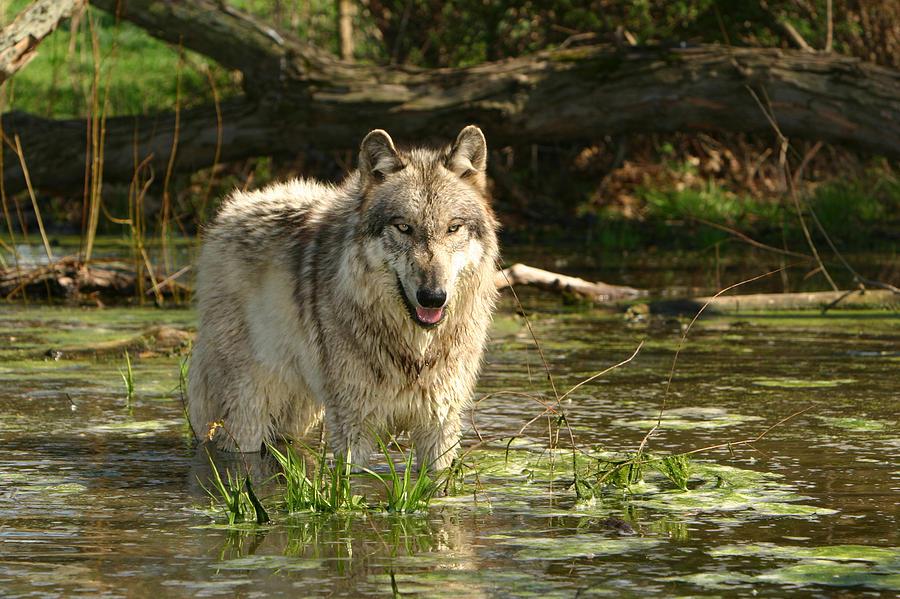 Gray Wolf Photograph - Cooling Off by Shari Jardina