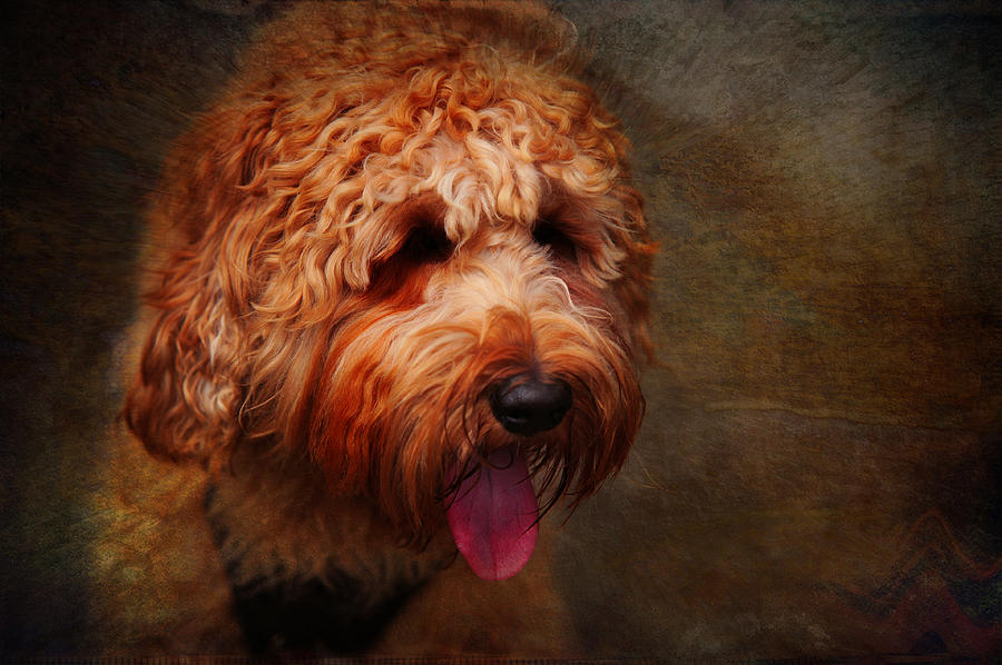 Australian Labradoodle Photograph - Cooper by Jenny Rainbow