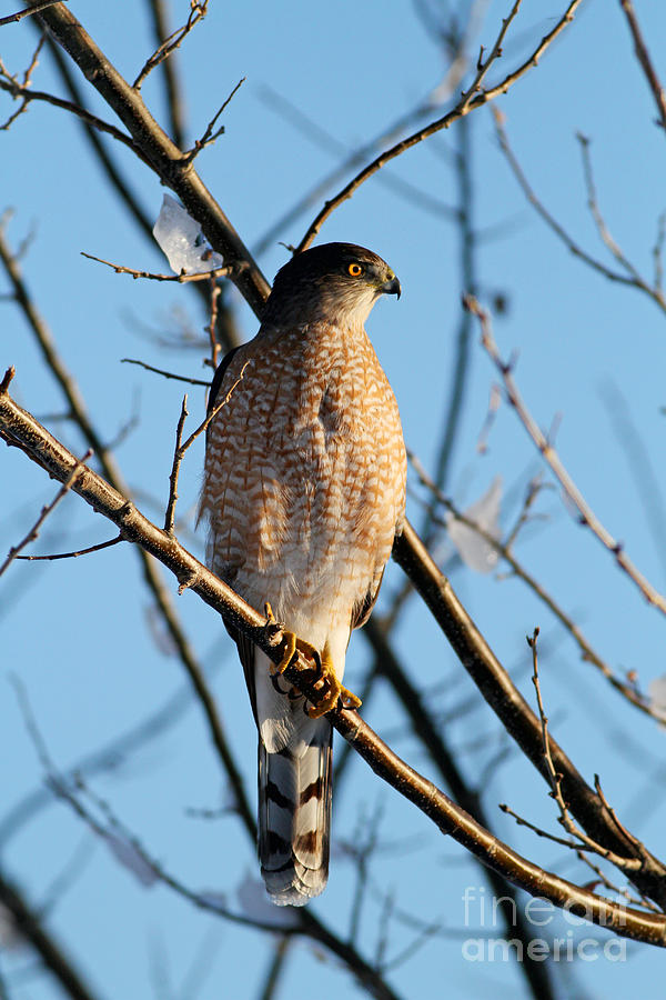 Coopers Hawk 021013 by Gene  Marchand