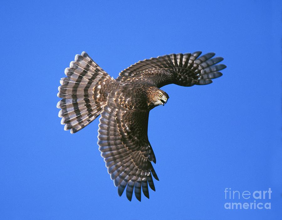 Flight Photograph - Coopers Hawk by Jim Zipp