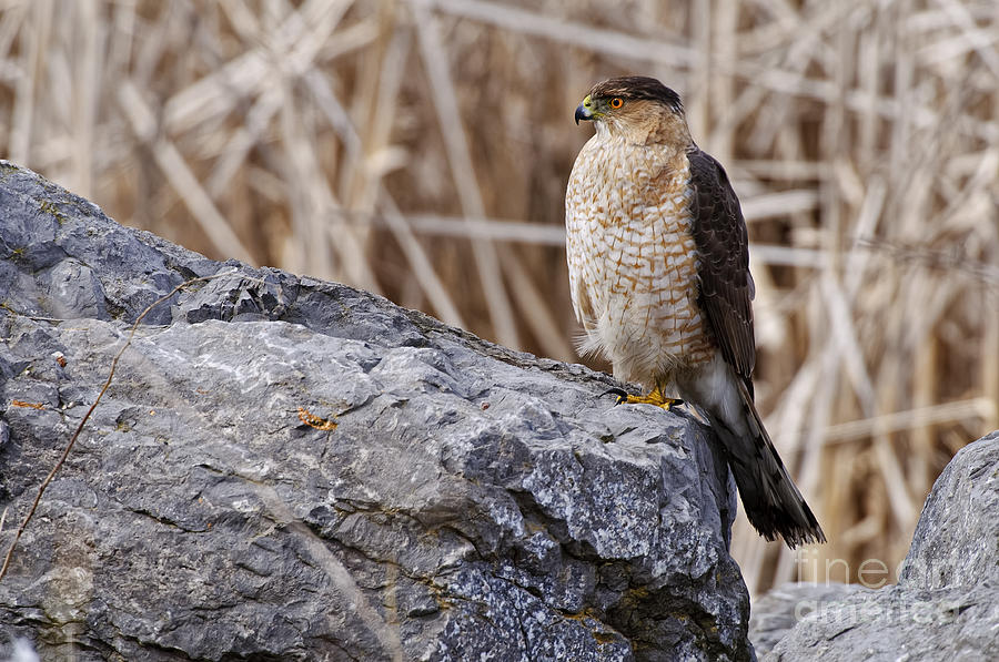 Coopers Hawk Pictures 91 Photograph