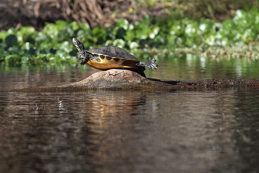 Cooter Photograph - Cooter On Alligator Log by Paul Rebmann