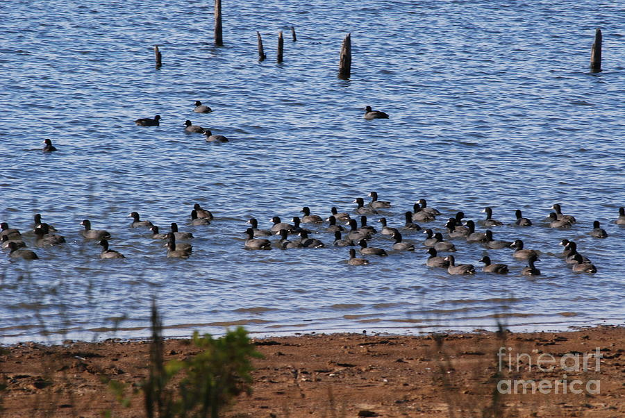 Water Photograph - Coots On The Water by Mark McReynolds