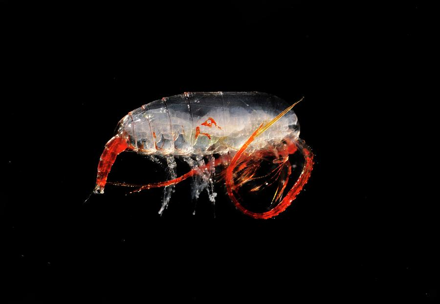 1 Photograph - Copepod Crustacean by British Antarctic Survey/science Photo Library