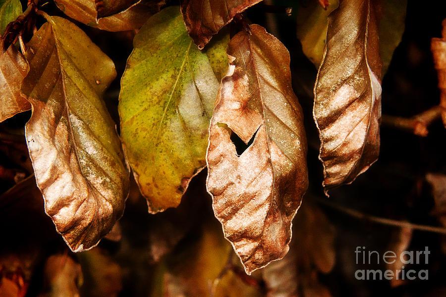 Beech Photograph - Copper Beech Leaves by Susie Peek