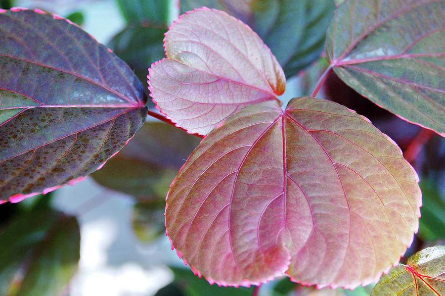 Copperleaf Acalypha Wilkesiana Photograph By Frank M Hough
