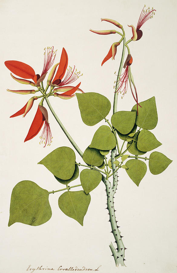 Angiosperm Photograph - Coral Bean Tree by Natural History Museum, London/science Photo Library