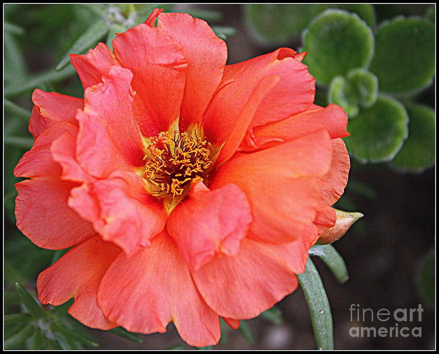 Botanical Photograph - Coral Desert Rose by Dora Sofia Caputo Photographic Design and Fine Art