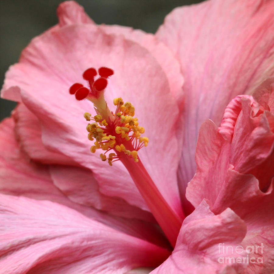 Landscape Photograph - Coral Hibiscus by Sabrina L Ryan