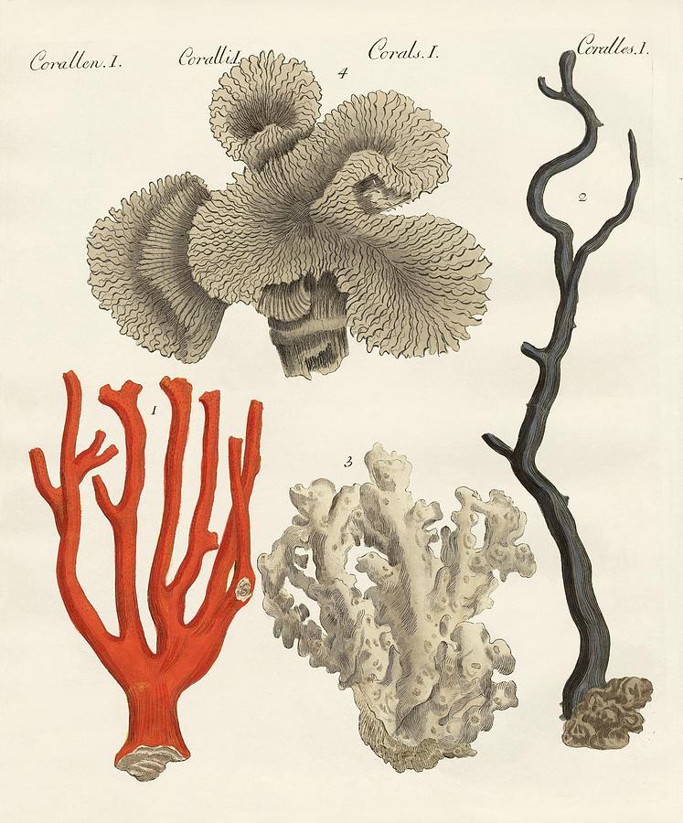 Sea Coral Drawing   Corals By Splendid Art Prints