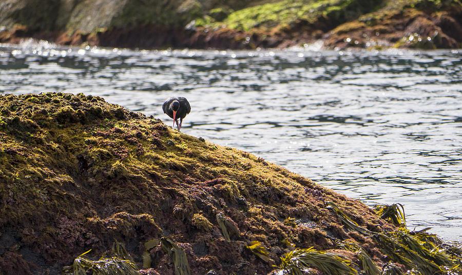 Australia Photograph - Cormorant - Montague Island - Australia by Steven Ralser