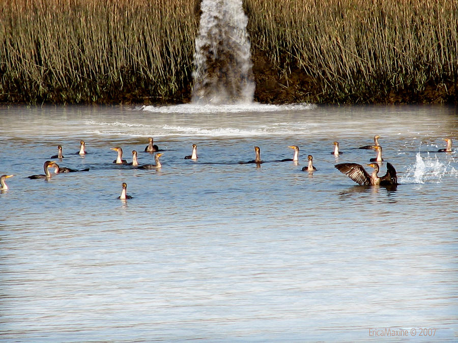 Birds Photograph - Cormorant Convention by EricaMaxine  Price