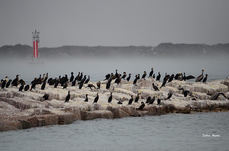 Cormorant Photograph - Cormorant Island by Debra Martz