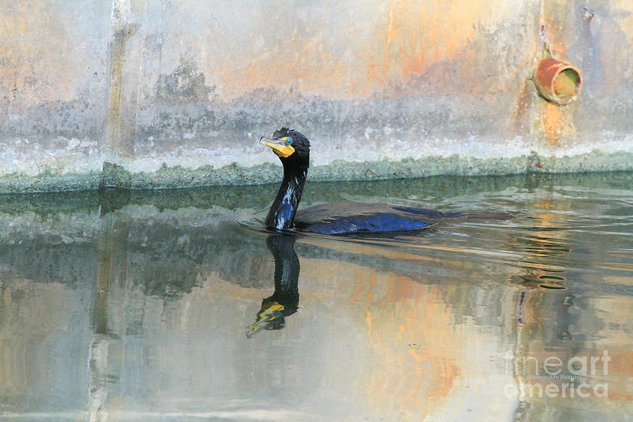 Cormorant Photograph - Cormorant Swim by Deborah Benoit