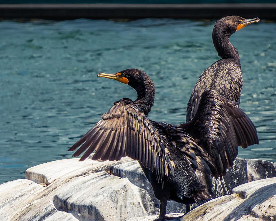 Cormorants Photograph