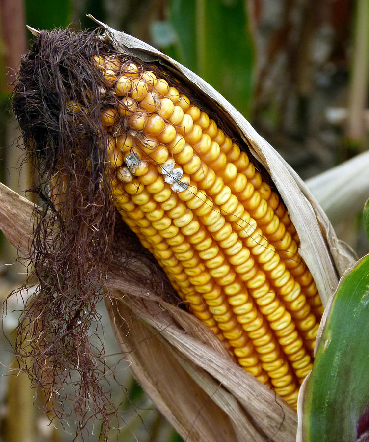 Corn Cob Dry by Jeff Lowe