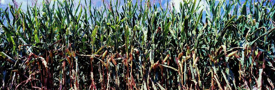 Color Image Photograph - Corn Crop In A Field, Amish Country by Panoramic Images